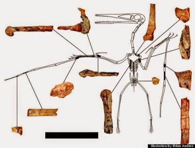 Kryptodrakon bones