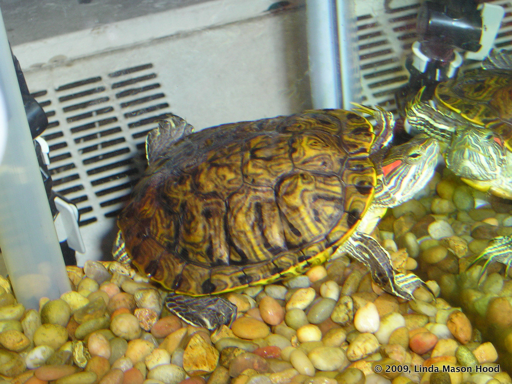 truffles, turtles & tunes: The Plight of Red Eared Sliders