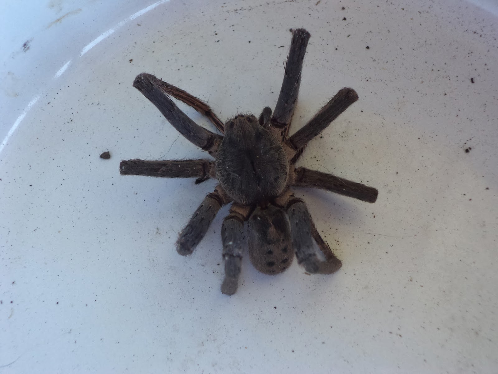 These I Emailed On For Expert Conclusion To My Consternation The Consensus Came Back That Visitor Was A Phoneutria Spider