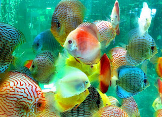 ikan discus dalam aquascape
