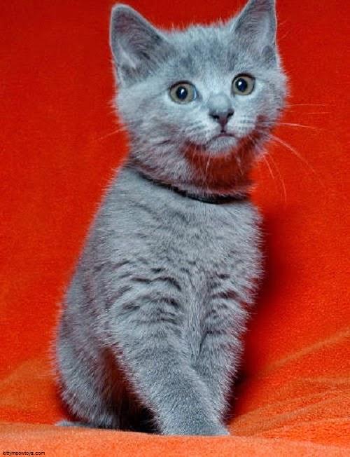 Une Photo chat chartreux gratuit
