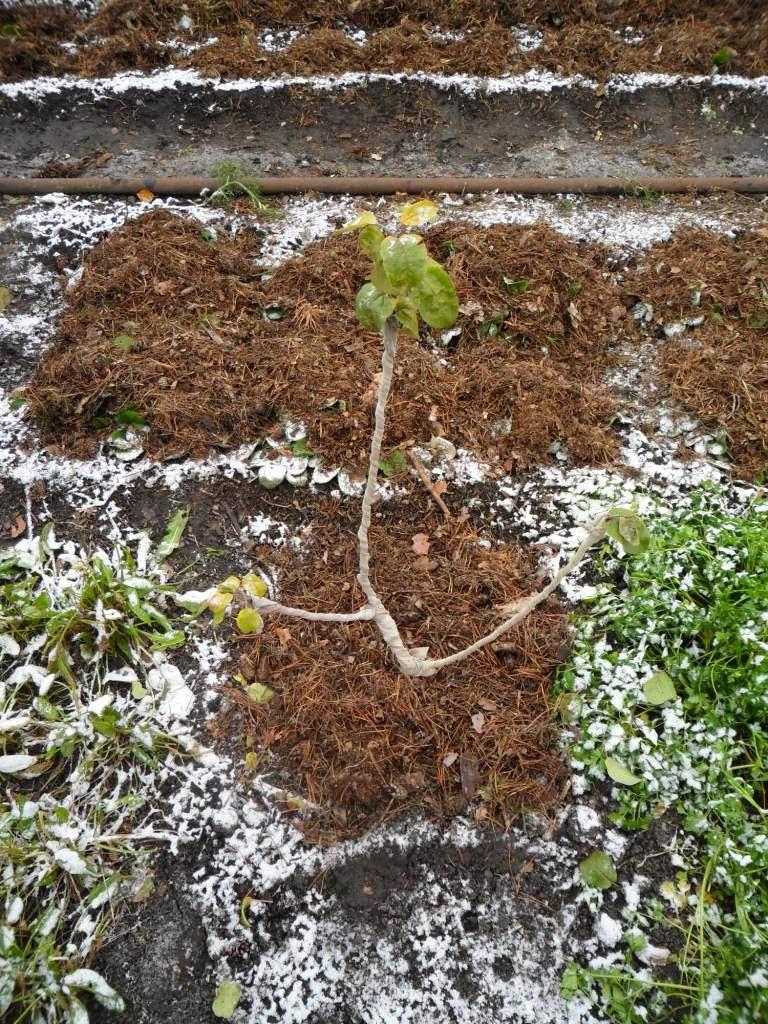 Яблоньку подготовил к зиме