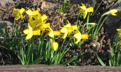 Jetfire miniature daffodils
