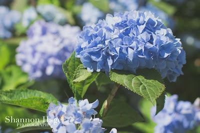 Shannon Hager Photography, Hydrangeas, Blue, Okinawa