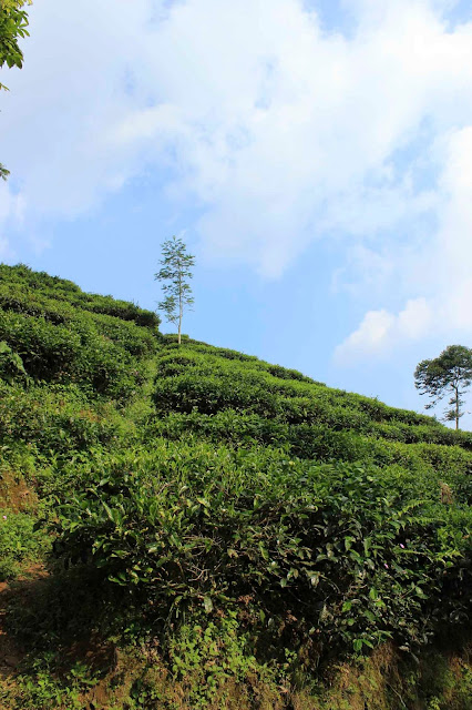 kebun teh kulonprogo