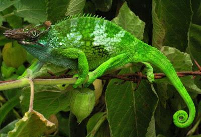 rainforest animal Chameleon