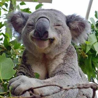 Koala fart
