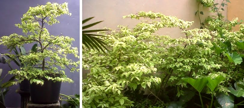 Jual pohon anting putri sp | macam-macam pohon perdu | pohon pelindung | jasa desain taman