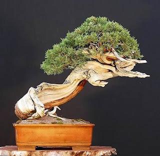Top unique bonsai trees gallery agustus 2011 for Cool bonsai tree