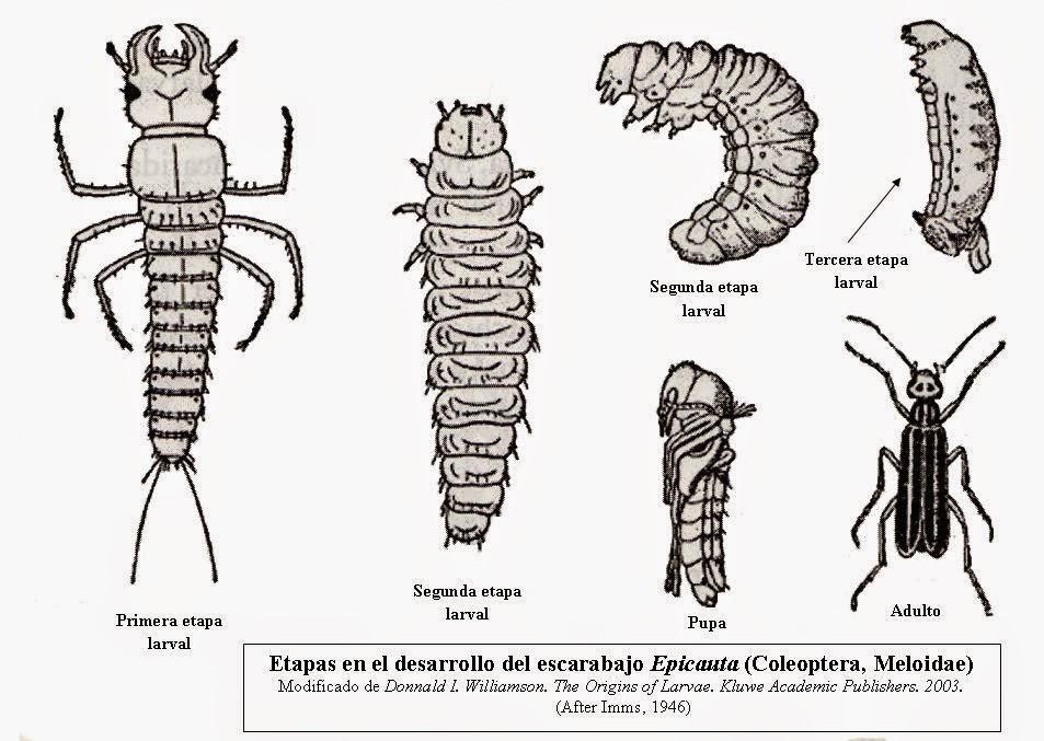 Naturaleza Viva : Luciérnaga (larva) lampíridos (Lampyridae)