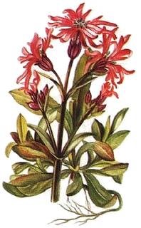 Floarea cucului