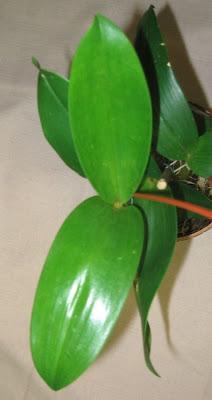 Den. eximium x forbesii - листья дендробиума