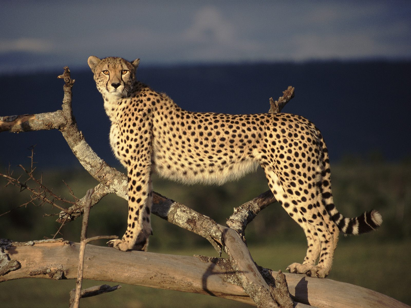 Beautiful Wild Animals: Cheetahs, dangerous animals with great speed