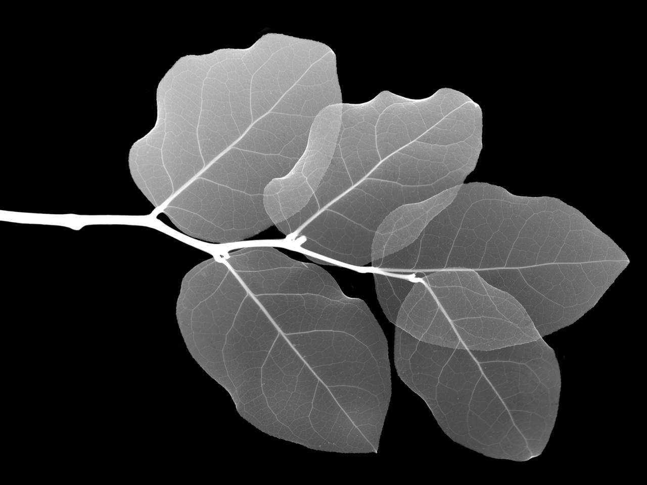 http://3.bp.blogspot.com/-5DUGme193RQ/UIPOX90silI/AAAAAAAAA9M/PZ9o1d-9hfg/s1600/Black-and-White-Leaf-Wallpaper.jpg