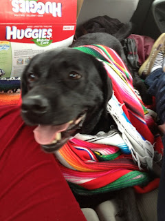 black Lab Abby in the car, wrapped up in a colorful blanket