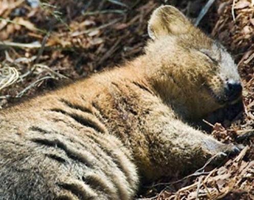 """Marsupial de origem australiana conhecido como """"Quokka"""""""
