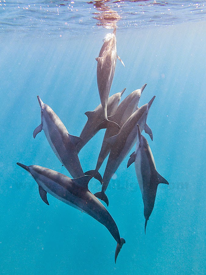 http://www.tropicallight.com/water/dolphins/27nov14dolphins/27nov14dolphins.html