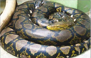 Reticulated Python - 25 Feet