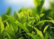 Inilah daun Teh yang bisa bikin langsing badan