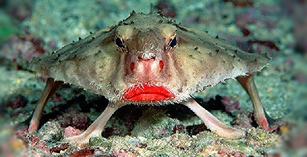 Red Lipped Batfish