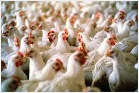Usaha Ternak Ayam Buras