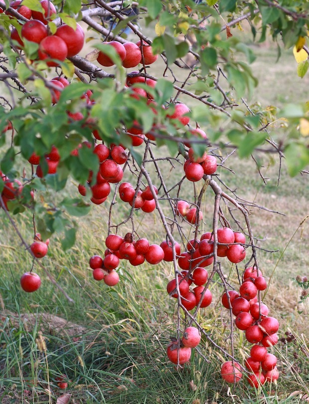 Red apples on tree at Minnesota Apple Orchard