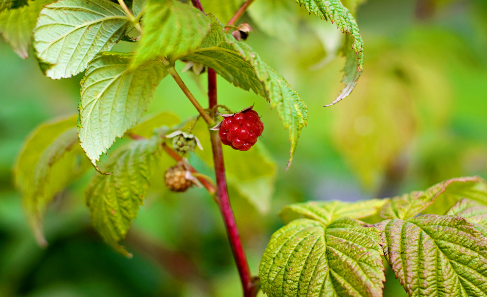 close up of a ripe red raspberry on the vine