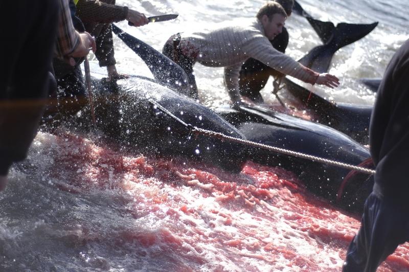 Matanza de ballenas en las Islas Feroe 17