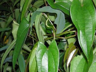 Yam, Dioscorea, growing in a garden in China 2