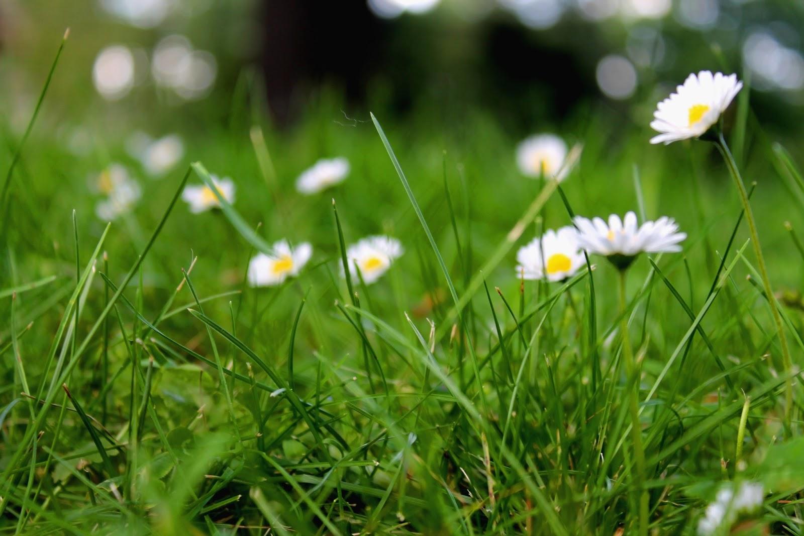 Daisies | Alinan kotona blog