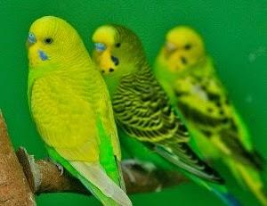 Foto Burung Parkit Hijau Terbaik