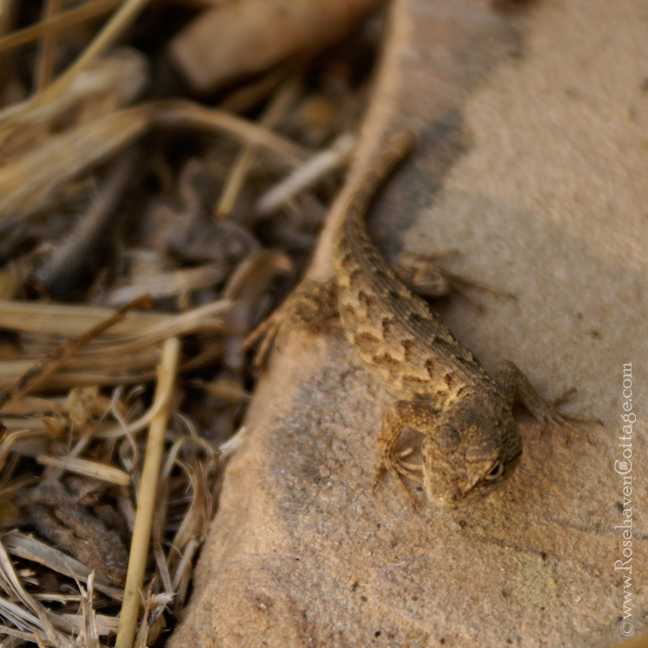 Western Fence Lizard on flagstone