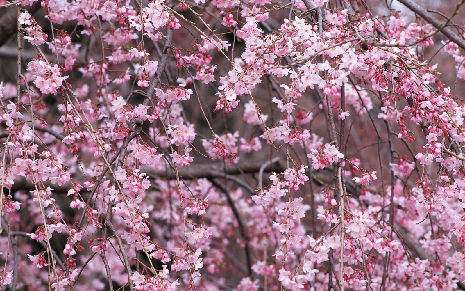 Wallpapers cherry blossom Cherry blossom pictures