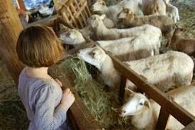 gambar sapi dan kambing - gambar kambing