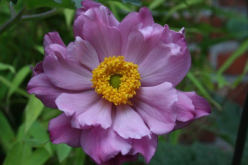 Beautiful flowers anemone flowers pictures meanings the anemone flower is unquestionably one of the more delicate and beautiful blossoms grown today however they are also steeped in myth and touted for mightylinksfo Image collections