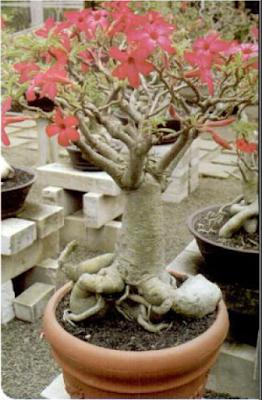Tukang Taman Surabaya tentang mengenal tanaman hias adenium (Mawar gurun)