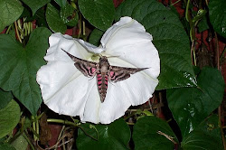 My Sphinx Moth