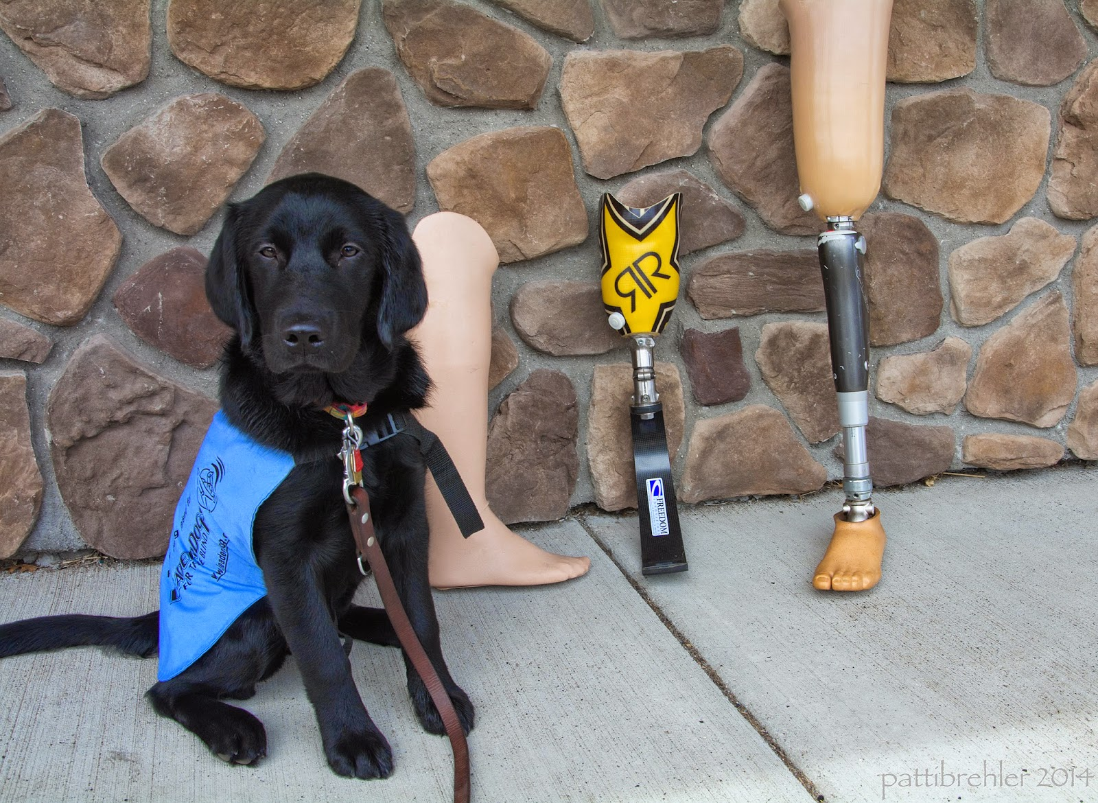 A young black lab/golden retriever mix puppy is sitting on a sidewalk in front of a stone wall looking at the camers. The puppy is wearing the baby-blue Future Leader Dog working jacket. A brown leash is attached to her coller. Leaning on the right side of the picture are three artificial legs. The first one, closest to the puppy, is from the knee down and it looks like a mannequin lower leg and foot. The middle one is futuristic and made of graphite, from the knee down, the one on the far right is a full leg. The foot and upper leg look like a mannegquin, but the lower leg looks like a metal piston.