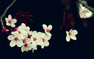 White Cherry Blossoms Black Background Stock Photo HD Wallpaper