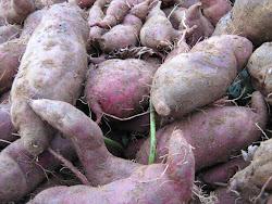 Cultivo de batata doce