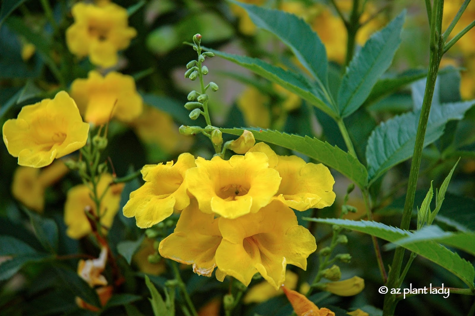 Drought tolerant yellow bells for warm season color uses because of its size this large shrub makes a great backdrop plant i have used it to screen fences sheds and also planted it up against the house mightylinksfo