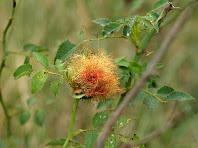Gala de Diplodepis rosae en un roser silvestre