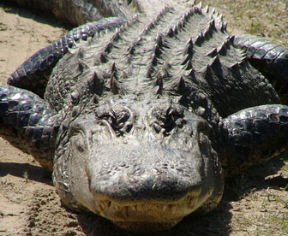Barbecued alligator tail nor cal barbecue alligator recipe forumfinder Images