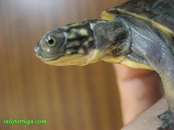 Blanding's turtle - Emydoidea blandingii