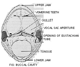 buccal cavity of a frog What is buccopharyngeal respiration blood-rich membrane of the buccal cavity or i watched as the young frog studied the buccopharyngeal respiration of.
