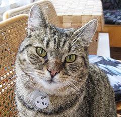 Pyry on suomalainen kissa