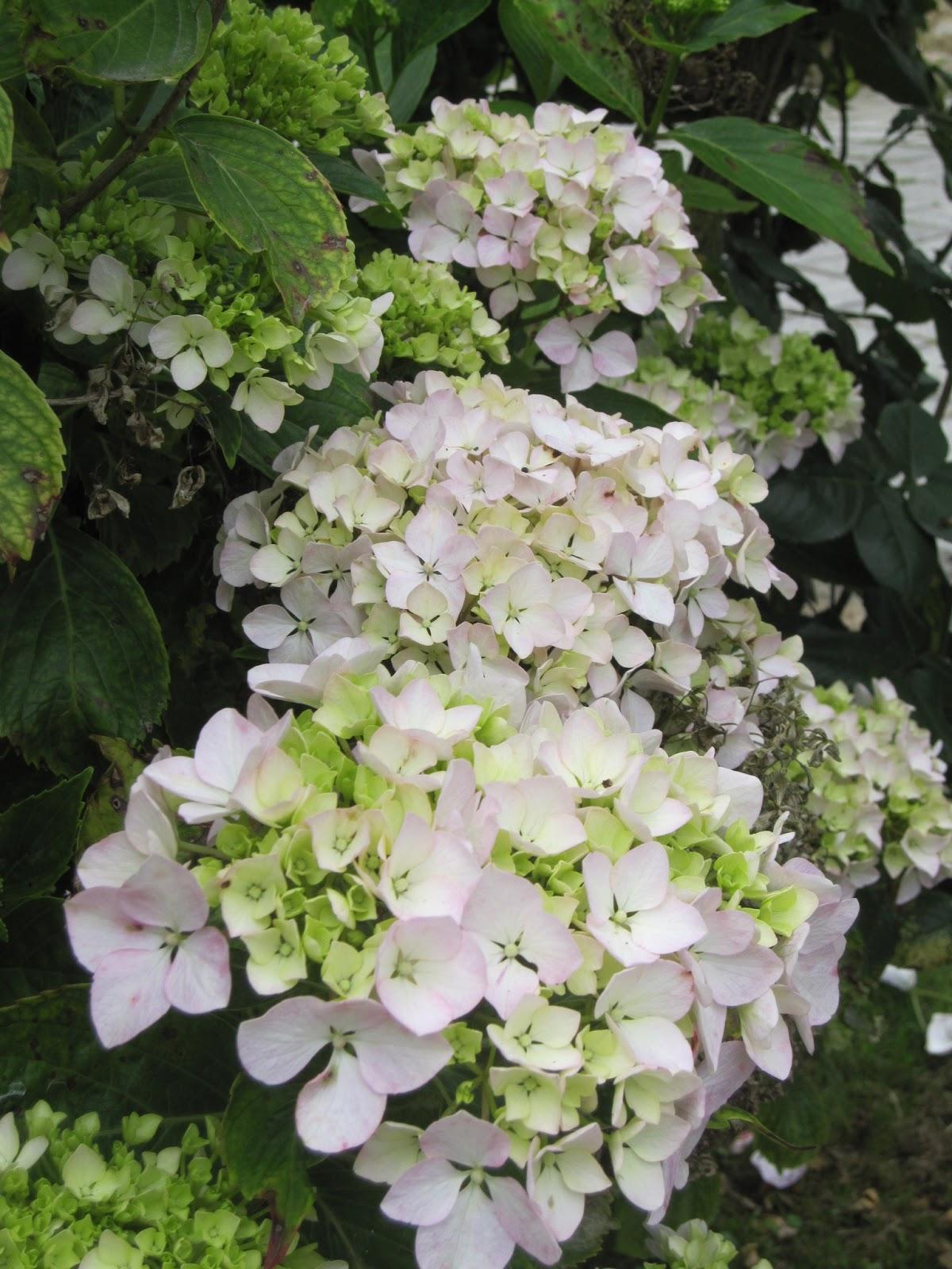 El blog de regina buitrago la hortensia esa bella sin aroma - Hortensias cuidados poda ...