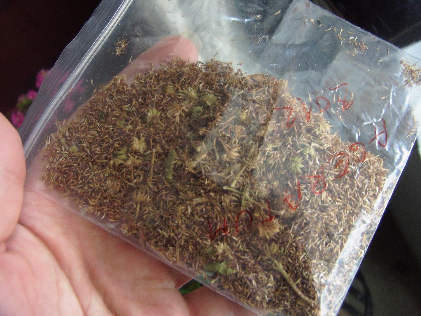 Как сажать агератум из семян 785
