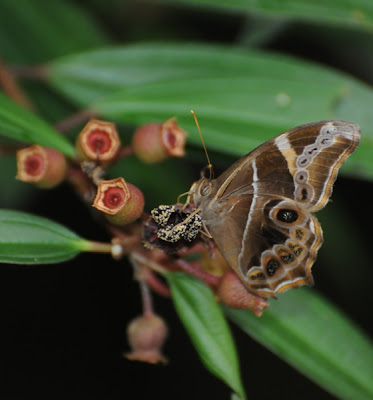 Bamboo Tree Brown (Lethe europa malaya)