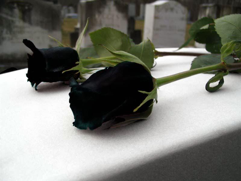 Imagenes De Rosas Negras De Luto - imagenes de rosas negras de luto Mejores Imágenes